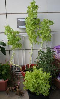 lettucetrees.jpg