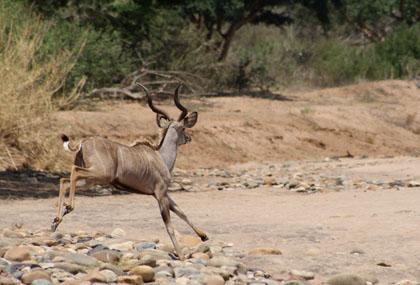 kudu_small.jpg