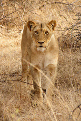 lion1_small.jpg