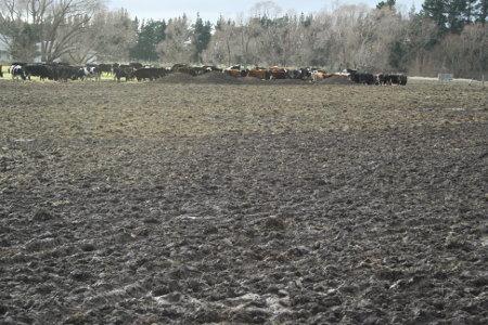 cows_small