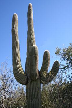 oldmancactus.jpg