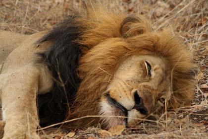 lion2_small.jpg