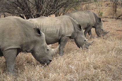 rhino_small.jpg